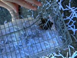 how to get rid of antechinus