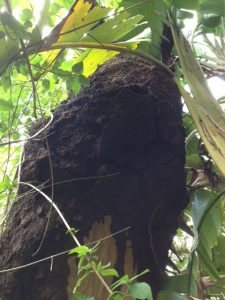 Termite nest in native tree - Noosa