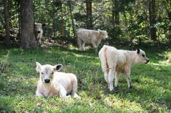 Miniature cows Noosa hinterland