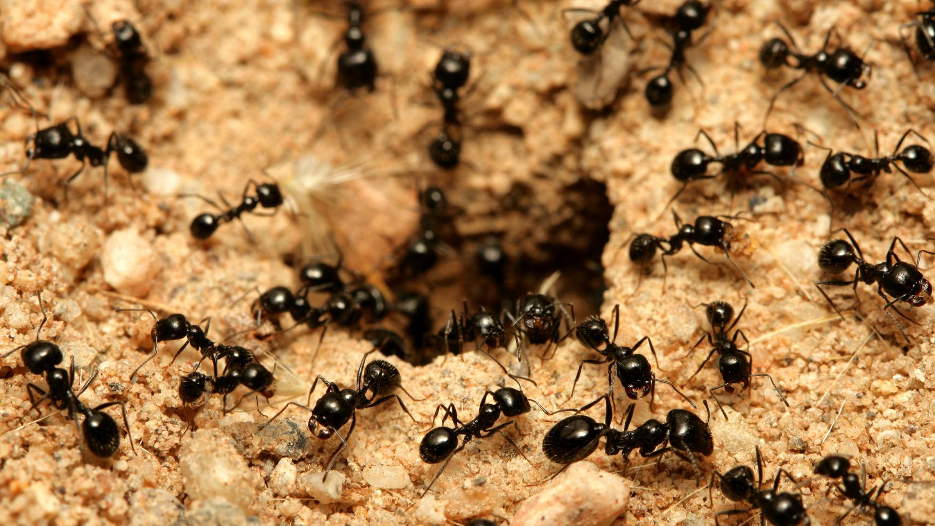 Ant control Sunshine coast
